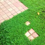 【雑草対策】芝生に代わるグランドカバー:ディコンドラ(ダイカンドラ)