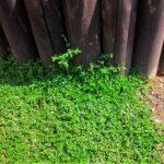【雑草対策】芝生に代わるグランドカバー:ヒメイワダレソウ、レイタータイムなど