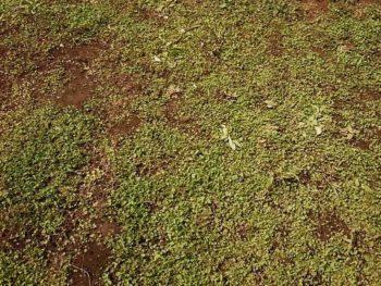 ディコンドラと雑草